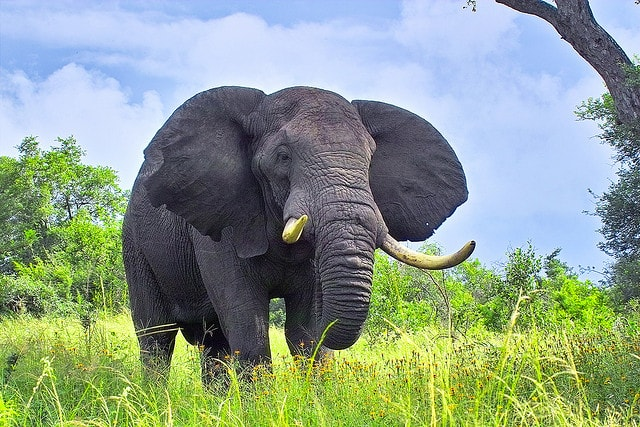 Large elephant standing in field